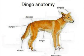 A anatomy of a dingo.