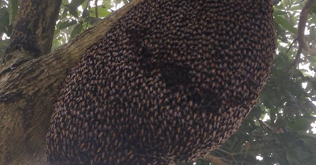 A colony of honeybees display their 'wave' behavior which is utilized to protect the hive against wasps.