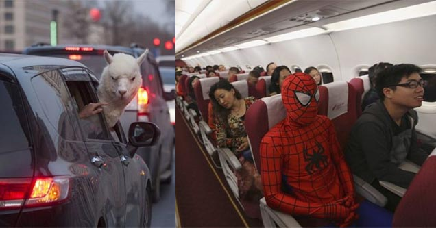 Llama hanging it's head outside car window. Man dressed as spiderman on airplane.