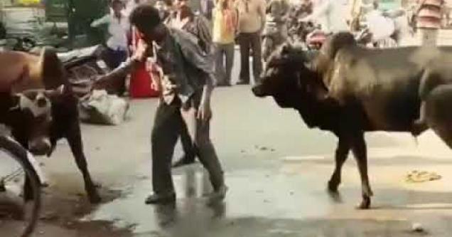 A man separating two bulls.