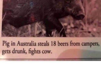 A pig in Australia who drank beers.