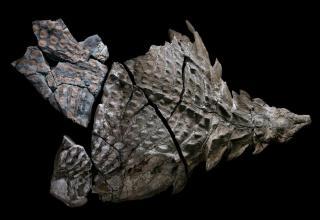 dinosaur fossil found in canada