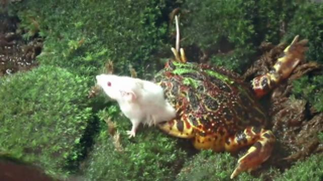 Pacman Frog Eats Mouse Wtf Video Ebaums World
