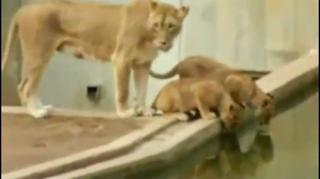 Lion Mom Trying To Teach Her Cub To Swim view on ebaumsworld.com tube online.