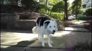 This Border Collie Is Just Too Smart view on ebaumsworld.com tube online.