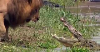 Lion Intimidates A Croc view on ebaumsworld.com tube online.