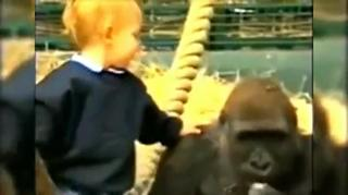 Toddler Plays With Gorilla Caught on Tape view on ebaumsworld.com tube online.