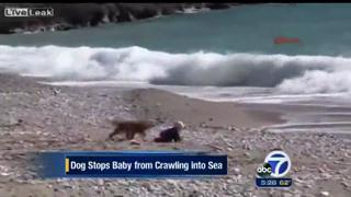 Amazing Dog Stands In Front Of Baby From Crawling Into The Sea view on ebaumsworld.com tube online.