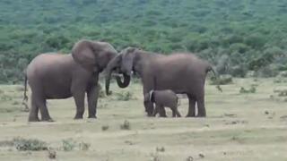 Elephant family reunion - Addo Elephant Park view on ebaumsworld.com tube online.