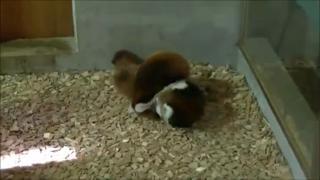 Baby Red Panda Sneak Attack view on ebaumsworld.com tube online.