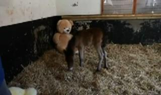 Orphaned horse comforted by giant Teddy Bear view on ebaumsworld.com tube online.