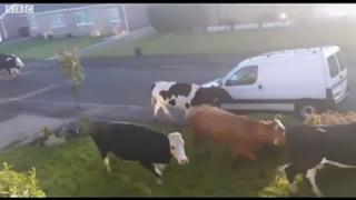 Cow stampede through Harrogate cul-de-sac view on ebaumsworld.com tube online.
