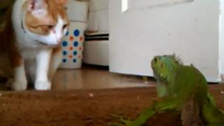 You Shall Not Pass! Cat Can't Go Nowhere With This Iguana. view on ebaumsworld.com tube online.