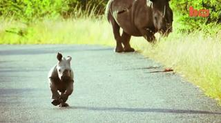Baby Rhino Runs Riot view on ebaumsworld.com tube online.