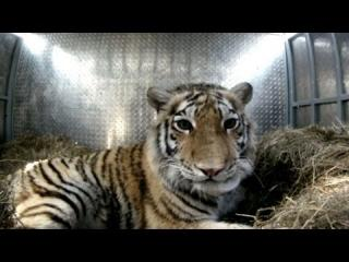 The Moment A Rare Amur Tiger Is Released Back Into The Wild view on ebaumsworld.com tube online.