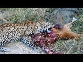 Crocodile Vs. Leopard: Fight For Impala view on ebaumsworld.com tube online.