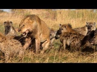 Lion vs Hyenas: Pack of Hyenas Attack Lion And Steal Its Prey view on ebaumsworld.com tube online.