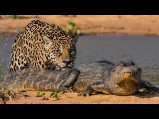 Jaguar vs Caimen: Big Cat Attacks Reptile view on ebaumsworld.com tube online.