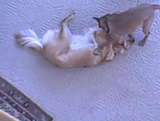 Dog Breaking Up Cat Fights