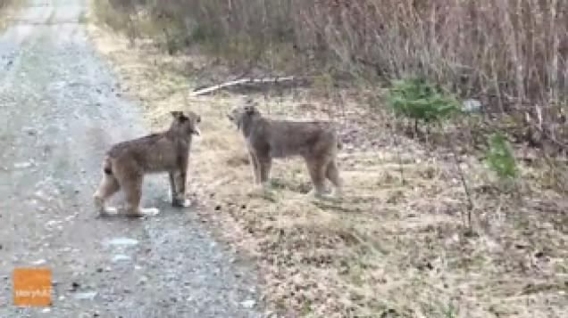 two lynx yell at each other