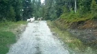 Mother Sheep Confronts Wolf view on ebaumsworld.com tube online.