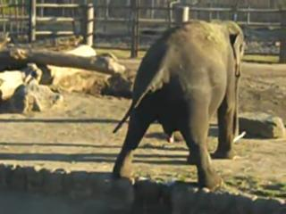 Elephant taking a huge dump at the Tulsa zoo! view on ebaumsworld.com tube online.