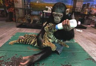 Monkey Feeds Tiger