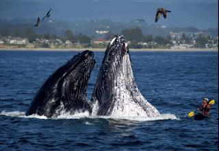 Humpback whales breach next to kayaker