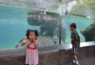 Little girl looks at camera and covers her mouth while two hippos in a cage have
