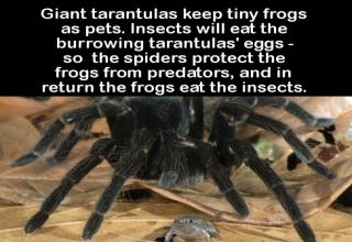 girant tarantulas keep tiny frogs as pets