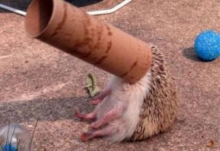 cute hedgehog with head stuck in a toilet paper roll