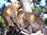 Gay monkeys living the dream view on ebaumsworld.com tube online.