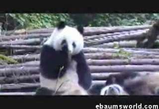 Panda Sneeze Attack view on ebaumsworld.com tube online.