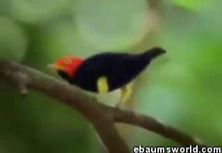 Moon Walking Manakin