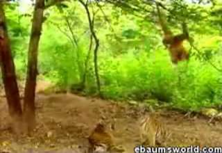 Monkey VS Tigers