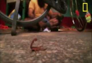 World's Deadliest Scorpion