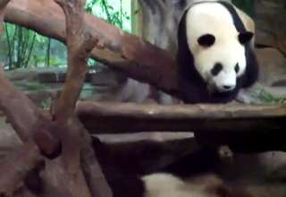 Panda casually relieves himself on his sleeping buddy view on ebaumsworld.com tube online.