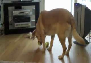Dog Fits Three Balls In Its Mouth