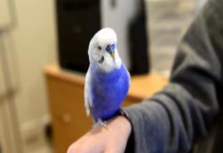budgie the blue parakeet