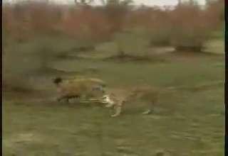 Gazelle Gets Lucky