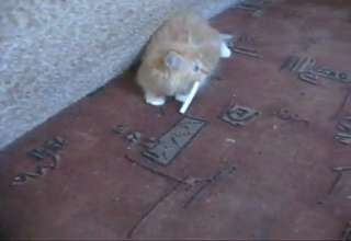 Cat With World S Deepest Meow