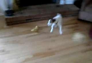 Here we go again. Duck bulling a dog view on ebaumsworld.com tube online.