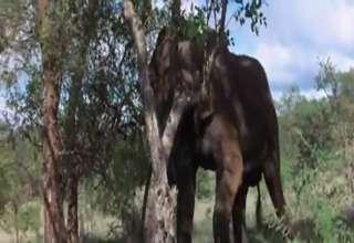 African Animals Getting Drunk Off Ripe Marula Fruit view on ebaumsworld.com tube online.