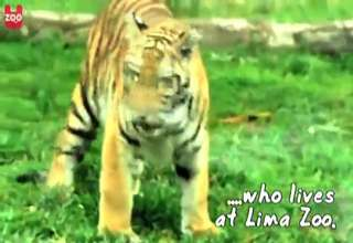 Baby Tiger Plays With Ball view on ebaumsworld.com tube online.
