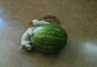 Kitten VS Watermellon view on ebaumsworld.com tube online.