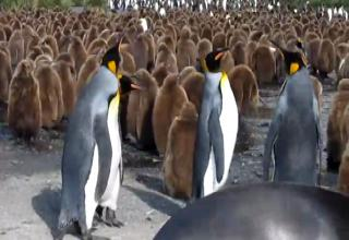 King Penguin Bitch Slap
