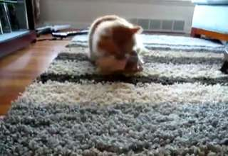 Munchkin Cat Likes Bra's view on ebaumsworld.com tube online.