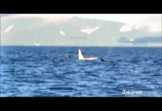 Killer Whale Eats Man Video Real Or Fake