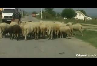Driver deliberately kills 30 sheep on highway view on ebaumsworld.com tube online.