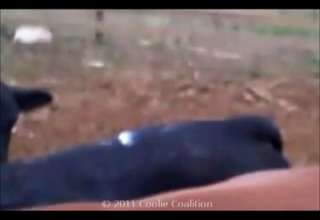 Gay Cow Brokeback Mountain UFC view on ebaumsworld.com tube online.